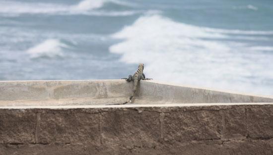 A thoughtful Iguana on Isla Mujeres